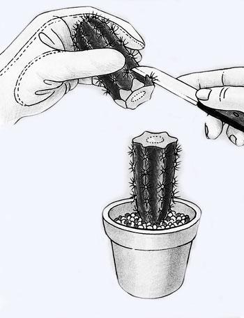 В какую землю кактусы сажать в 399